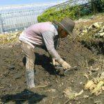 蓮輝農園の蓮根掘りが始まりました!